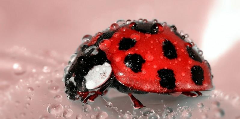 ladybug-beetle-insect-lucky-charm